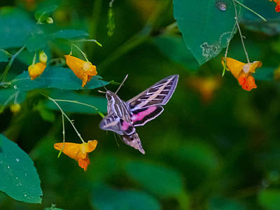 Sports Royalty-Free and Rights-Managed Images - Profileof a sphinx moth by David Tennis