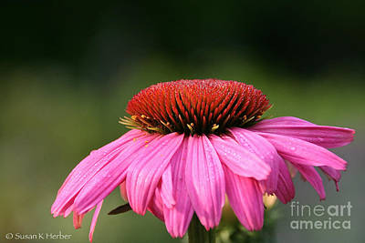 Photograph - Profiling Echinacea by Susan Herber