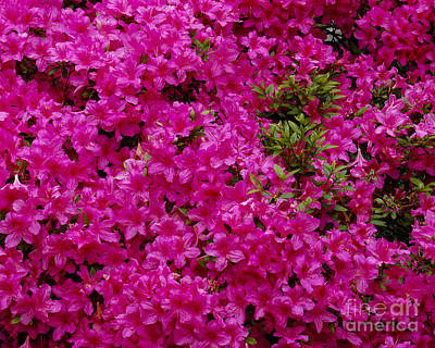 Photograph - Profoundly Pink by Chuck Flewelling