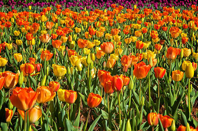 Profusion Of Tulips Biltmore Estate Nc Art Print