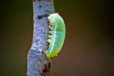 Promethea Photograph - Promethea Moth Caterpillar by Rich Leighton