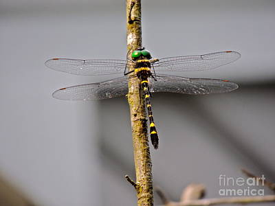Photograph - Pronged Clubtail by Eve Spring