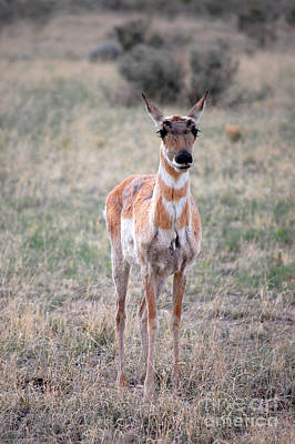 Photograph - Pronghorn Antelope 1 by Debra Thompson