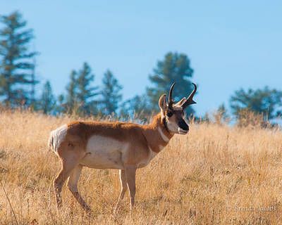 Photograph - Pronghorn Antelope by Brenda Jacobs