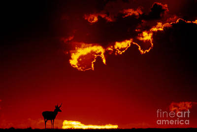 Us Fauna Photograph - Pronghorn Antelope In Sunset by Mark Newman