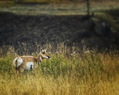 Photograph - Pronghorn Antelope No. 1 - Yellowstone by Belinda Greb