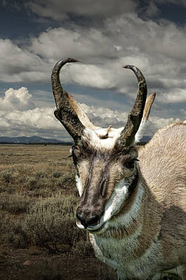 Photograph - Pronghorn Antelope Portrait by Randall Nyhof