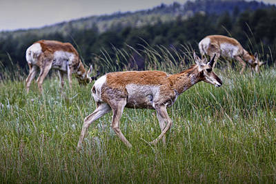 Trophy Buck Photograph - Pronghorn Antelopes An A Grassy Ridge by Randall Nyhof