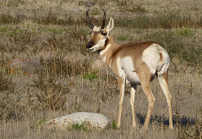 Photograph - Pronghorn Buck by Linda Shannon Morgan