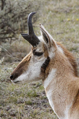 Photograph - Pronghorn Buck Profile by Jill Bell