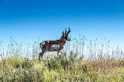 Photograph - Pronghorn King Of The Mountain by Debra Martz