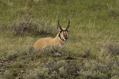 Photograph - Pronghorn Male by Jack R Perry