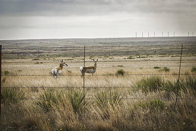 Photograph - Pronghorn Or Pronghorn Antelope On 6666 Ranch In Texas Panhand by Karen Stephenson