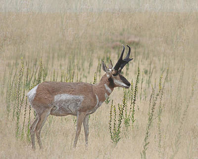 Photograph - Pronghorn Profile Textured by Jemmy Archer