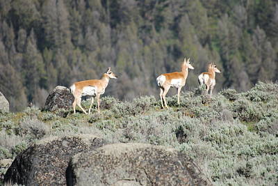 Photograph - Pronghorns On A Ridge by Robert  Moss