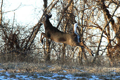 Photograph - Pronking Buck by Butch Lombardi
