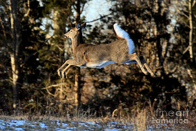 Photograph - Pronking Doe by Butch Lombardi