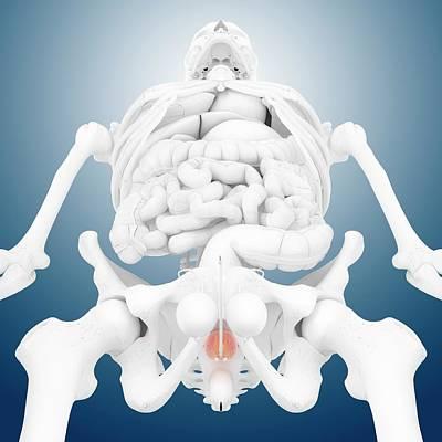 Anus Photograph - Prostate Gland by Springer Medizin