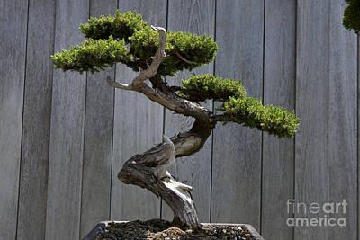 Jason O. Watson Photograph - Prostrate Juniper Bonsai Tree by Jason O Watson