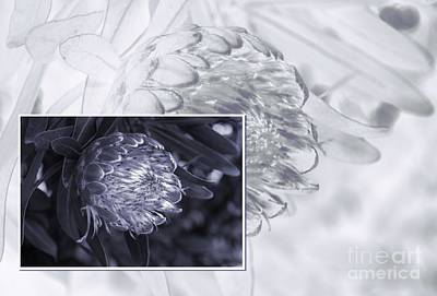 Photograph - Protea 6 by Fran Woods
