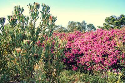 Photograph - Protea And Bougainvillea Kula Maui Hawaii by Sharon Mau