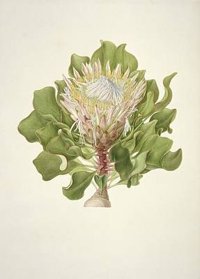1796 Photograph - Protea Cynaroides, 18th Century by Science Photo Library
