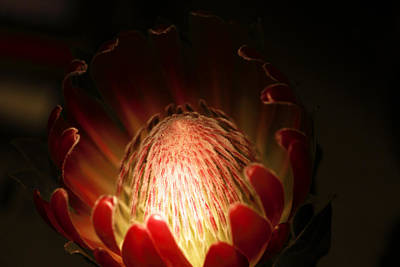 Protea Flower 2 Art Print