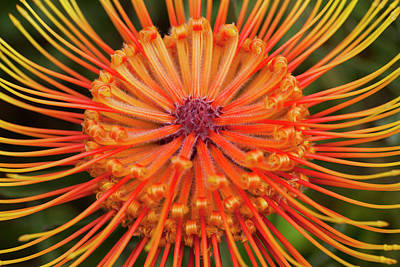 Protea Photograph - Protea, Kula Botanical Garden by Douglas Peebles