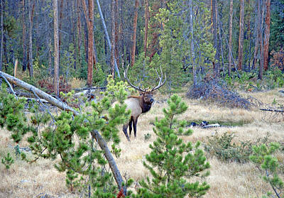 Photograph - Protective Elk by Robert Meyers-Lussier