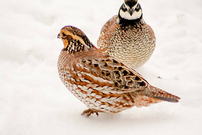 Photograph - Protective Quail by Dawn Romine