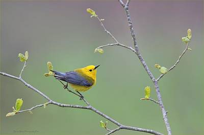 Warbler Photograph - Prothonatary Warbler by Daniel Behm