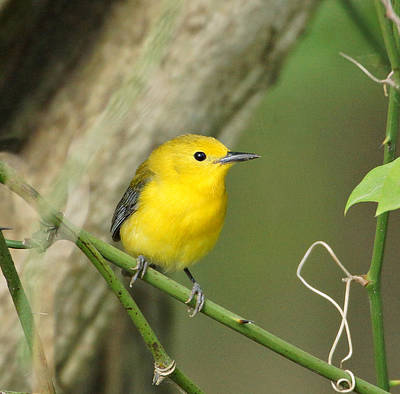 Photograph - Prothonotary Warbler Close-up by Sandy Keeton