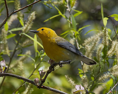 Photograph - Prothonotary Warbler Dsb220 by Gerry Gantt