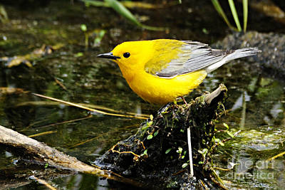 Photograph - Prothonotary Warbler. by Larry Ricker