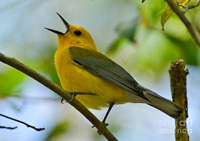 Prothonotary Warbler Singing Art Print by Kathy Baccari