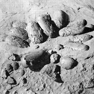 Photograph - Protoceratops Eggs Cretaceous Dinosaur by Science Source