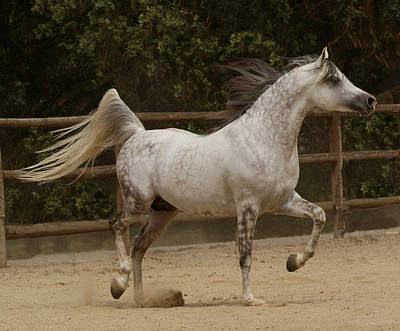 Photograph - Proud Arabian by Melinda Hughes-Berland