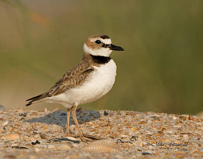 Photograph - Proud As A Plover by Mike Fitzgerald