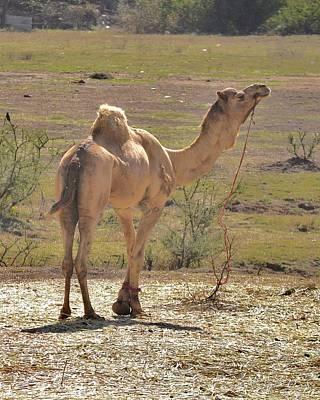 Proud Camel Art Print by Kim Bemis