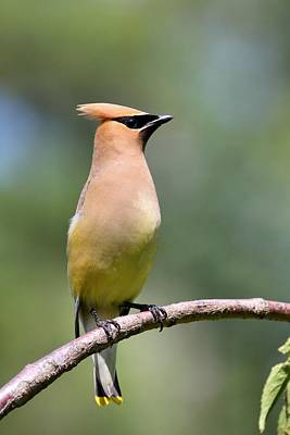 Photograph - Proud Cedar Waxwing by Mike Farslow