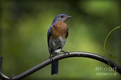 Amen Corner Photograph - Proud Eastern Bluebird  by Cris Hayes