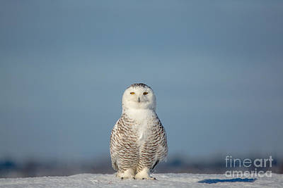 Photograph - Proud Female Snowy by Cheryl Baxter