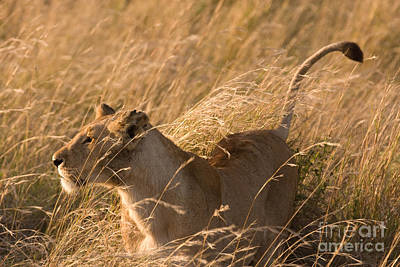 Photograph - Proud Lioness by Chris Scroggins