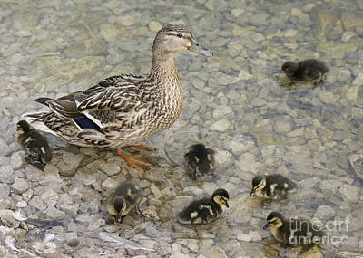 Photograph - Proud Mother by David Birchall