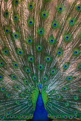 Photograph - Proud Peacock by Ernie Echols