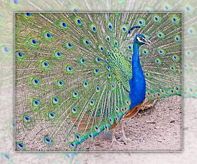 Photograph - Proud Peacock  by Walter Herrit