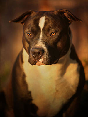 K9 Photograph - Proud Pit Bull by Larry Marshall