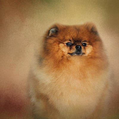 Photograph - Proud Pomeranian by Jai Johnson