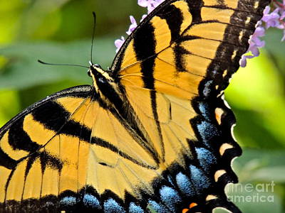 Photograph - Proud Swallowtail by Eve Spring