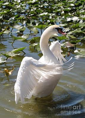 Photograph - Proud Swan by Carol Groenen